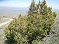 Juniperus osteosperma (5446050080).jpg