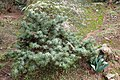 Juniperus oxycedrus kz06 (Morocco).jpg