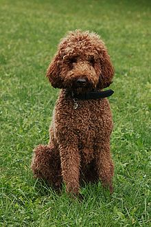 Hypoallergenic Dog Breed