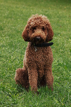 Hypoallergenic dog breed - Poodles are well-known for their minimally shedding, single coat, and popular parents for designer dogs marketed as 'allergy-friendly'.