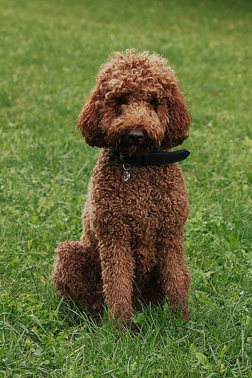 Image Result For Can Hypoallergenic Dogs