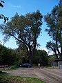K Radotínu, strom.jpg