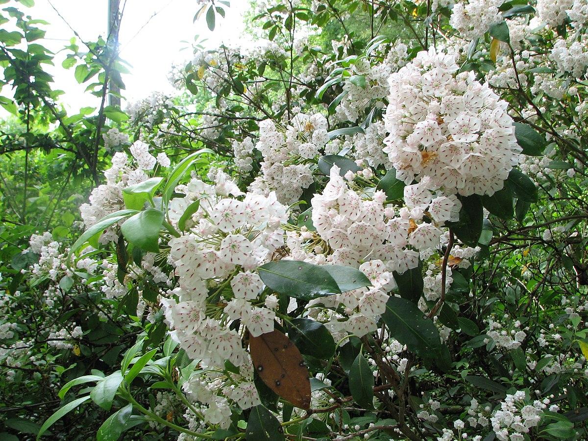 Kalmia Latifolia Wikispecies
