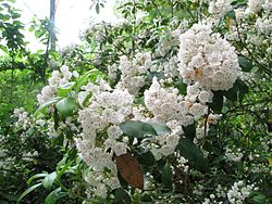 Kalmia latifolia species 2.jpg