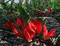 Kennedia prostrata (4950783863).jpg