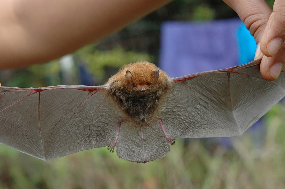 The average adult weight of a Whitehead's woolly bat is 3 grams (0.01 lbs)