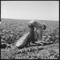 Kern County, California. Migrant youth in potato field. Stoop labor by a migratory youth - NARA - 532141.tif
