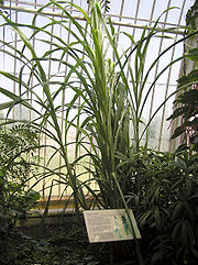 Sugar cane Saccharum officinarum at Kew Gardens, London