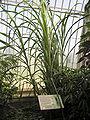 Kew.gardens.sugar.cane.arp.jpg