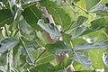 Kigelia africana 41zz.jpg