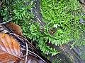 Kindbergia praelonga 99520374.jpg