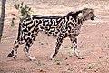 King cheetah, De Wildt Cheetah Research Centre in South Africa.jpg