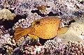 Kofferfisch, Ostracion cubicus,рыба-кузовок.DSCF0905OB.jpg