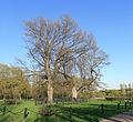 Kolomenskoe OakTrees L19.jpg