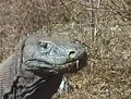 File:Komodo dragons video 3 Part 1.ogv