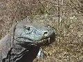 File:Komodo dragons video 3 Part 1.ogv