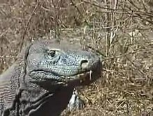 Archivo:Komodo dragons video 3 Part 1.ogv
