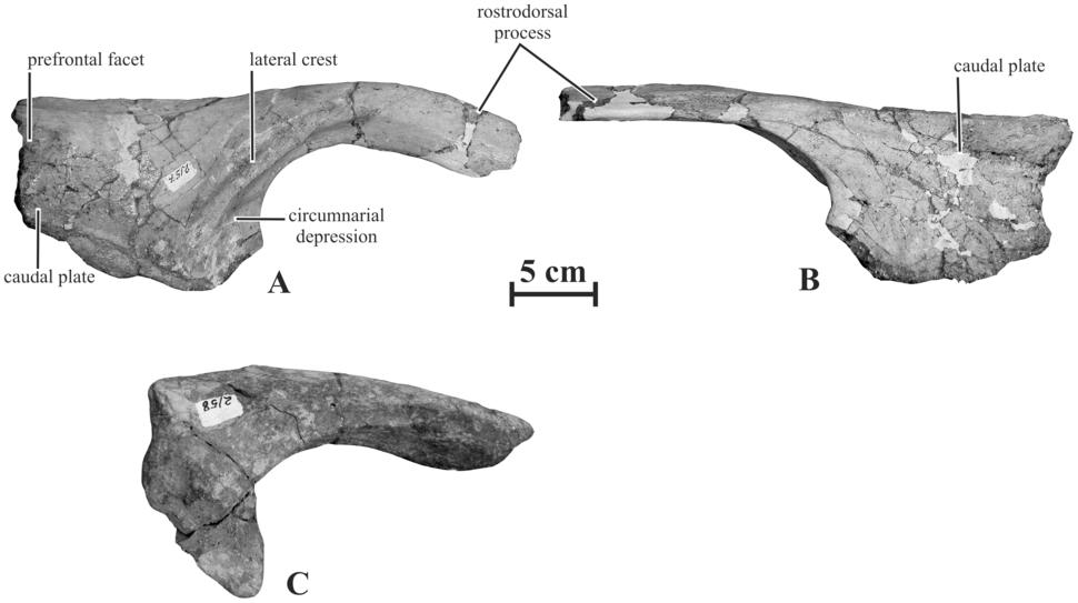 Kundurosaurus nasals