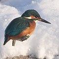 Kungsfiskare -4223 - Flickr - Ragnhild & Neil Crawford.jpg