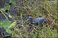 LITTLE BLUE HERON (8468682467).jpg