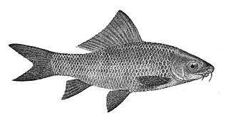 <i>Labeo</i> genus of carps in the family Cyprinidae