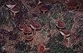 Lactarius rufus. Rufous milkcap Llywn On. 1979 (25385567059).jpg