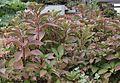 Lady in Red Hydrangea (Hydrangea macrophylla) (5651136903).jpg