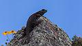Lagarto (Sceloporus mucronatus), Zona arqueológica de Cantona, Puebla, México, 2013-10-11, DD 05.JPG