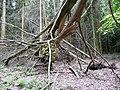 Landschaftsschutzgebiet Horstmanns Holz Melle -Umgestürzter Baum- Datei 4.jpg
