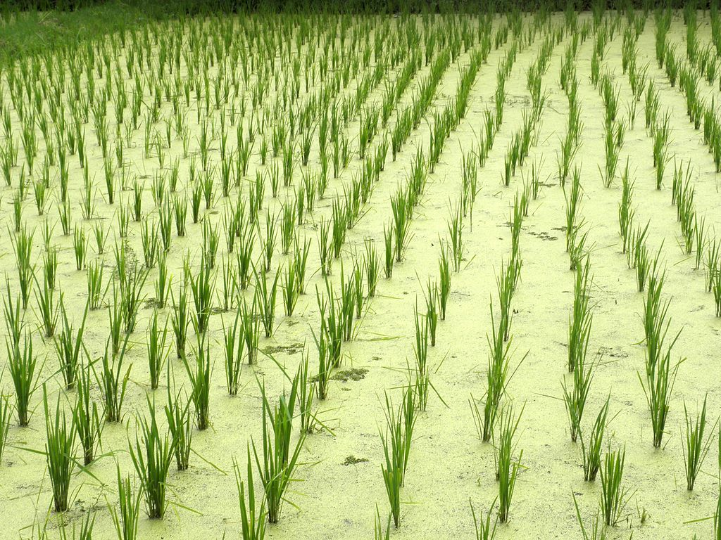 Rice fields, Pantai Cenang