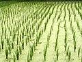 Langkawi-pantai cenang-rice-field.JPG
