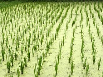 Agriculture in Malaysia - Langkawi-Pantai Cenang Rice Field