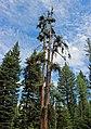 Larch at Catherine Creek, Wallowa-Whitman National Forest (26528817430).jpg
