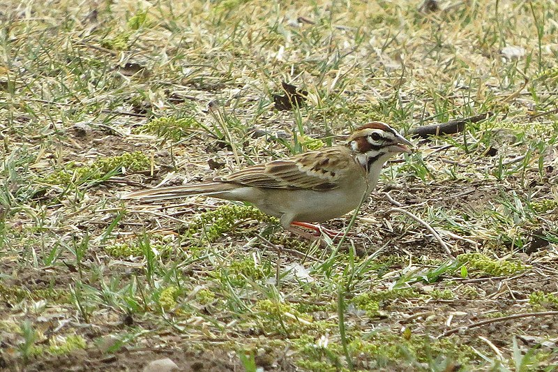 File:Lark Sparrow (18378340009).jpg