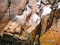 Larosterna inca, Islas Ballestas 2.jpg