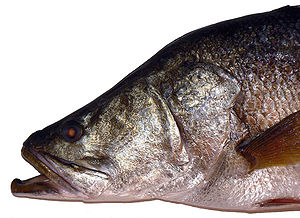 English: Lates niloticus - Nile perch (also Af...