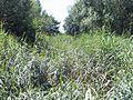 Lauerscher Grenzgraben Röhricht.jpg