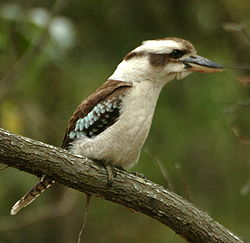 Laughing kookaburra buckleys.JPG