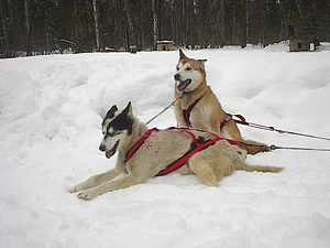 Alaskan husky - Alaskan huskies in harness