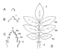 Leaf Development.png
