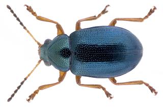 Euryopini Tribe of leaf beetles