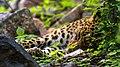 Leopard-Jhalana-01.jpg