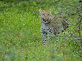 Leopard (Panthera pardus) (12906908093).jpg