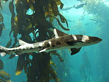 Photo of a leopard shark swimming in front of kelp; many other fish are in the background