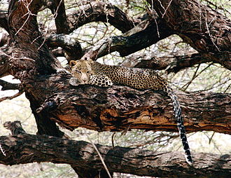 Samburu National Reserve - Image: Leopard tree samburu