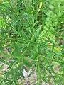 Lepidium campestre - stem, seedhead (18865922108).jpg