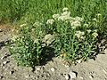 Lepidium draba (subsp. draba) sl5.jpg