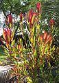 Leucadendron salignum × laureolum 'rising sun'.jpg