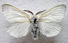 Leucoma salicis male zsl bialowieza collection 1 beentree.jpg