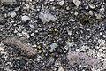 Lichen (26707902618).jpg